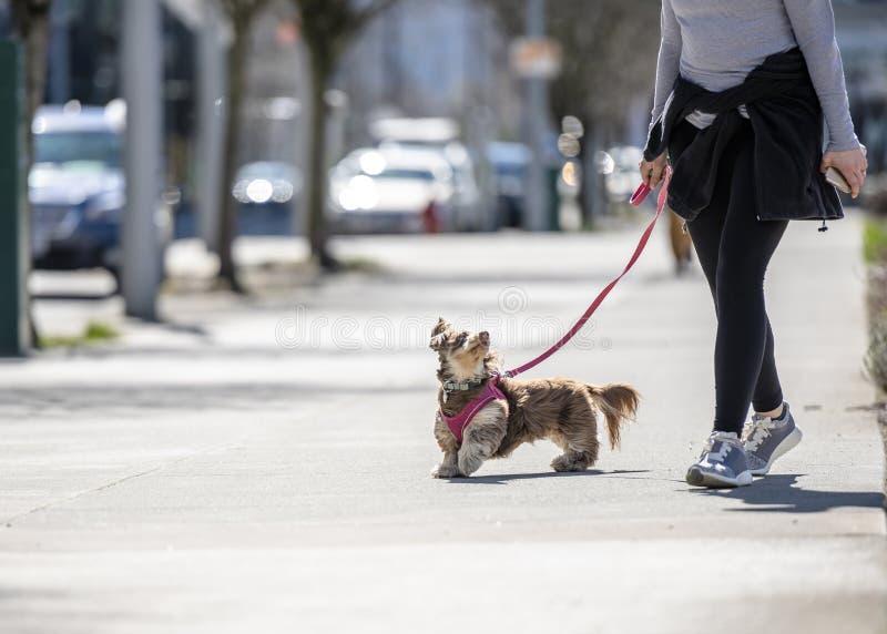 Menina que anda o cão desgrenhado pequeno na rua da cidade fotos de stock royalty free