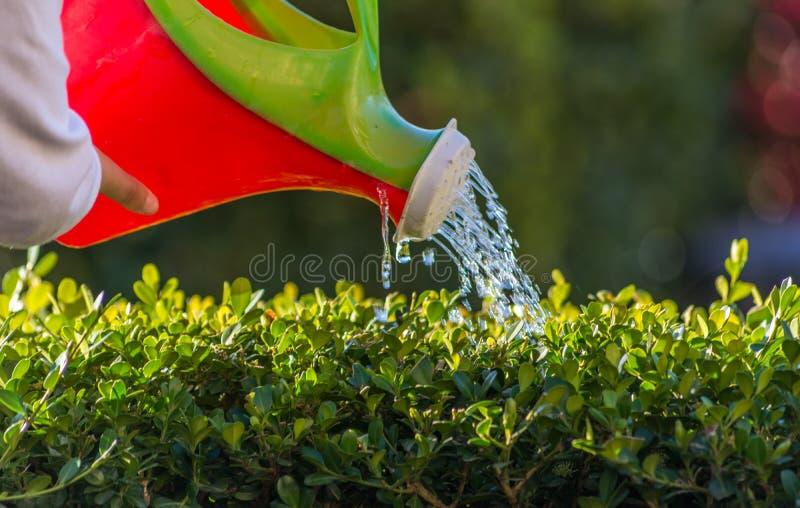 Menina que molha algumas plantas com uma lata molhando pequena Mão na lata molhando plástica fotografia de stock royalty free