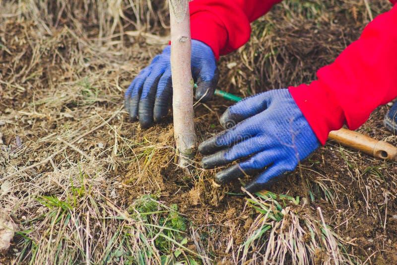 A menina que planta a ?rvore de am?ndoa em um jardim, usa uma ferramenta da manuten??o de planta Trabalho no jardim fotos de stock royalty free