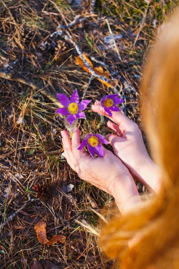 A menina recolhe a floresta da pasque-flor na primavera imagens de stock royalty free