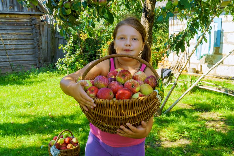 A menina recolhe maçãs no jardim do outono imagem de stock royalty free