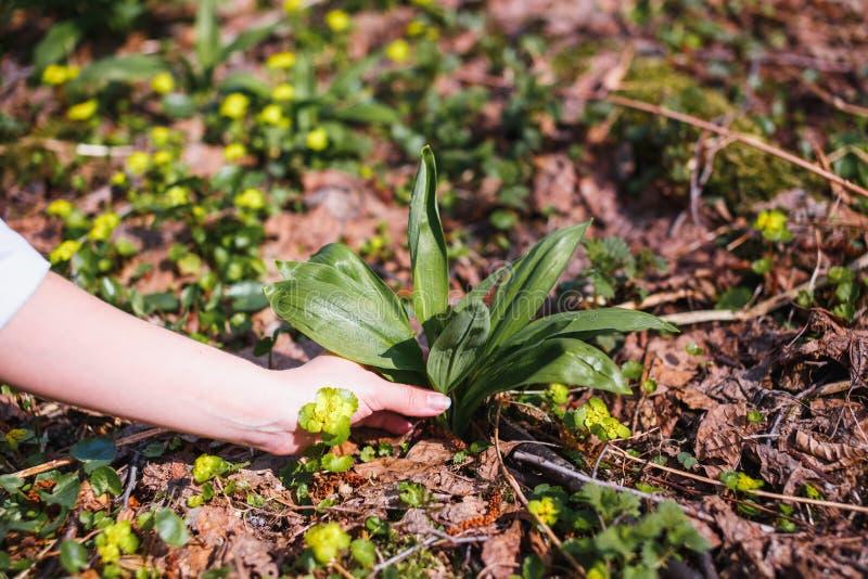 A menina recolhe o primeiro alho selvagem novo na floresta imagem de stock