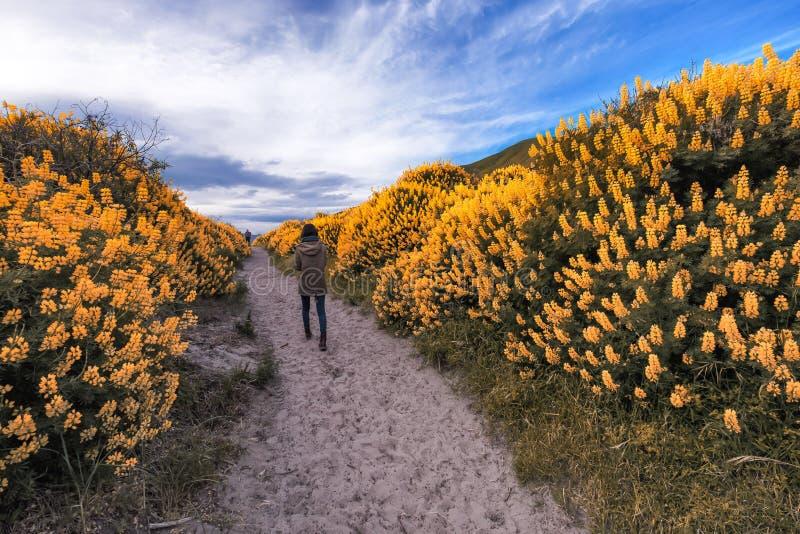 Menina só que anda ao longo de um trajeto estreito longo cercado por arbustos altos com o tremoceiro amarelo do arbusto fotografia de stock royalty free