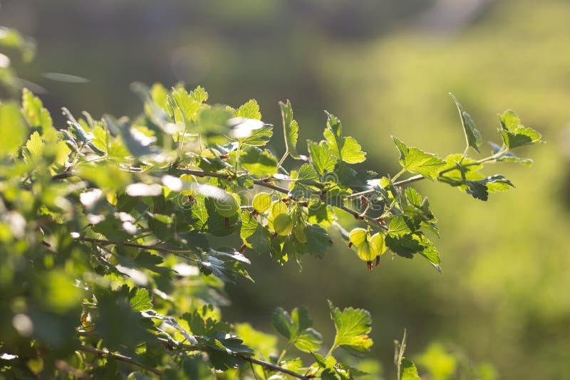 Mening aan verse groene kruisbessen op een tak van kruisbesstruik in de tuin Sluit omhoog mening van de organische kruisbes stock afbeelding