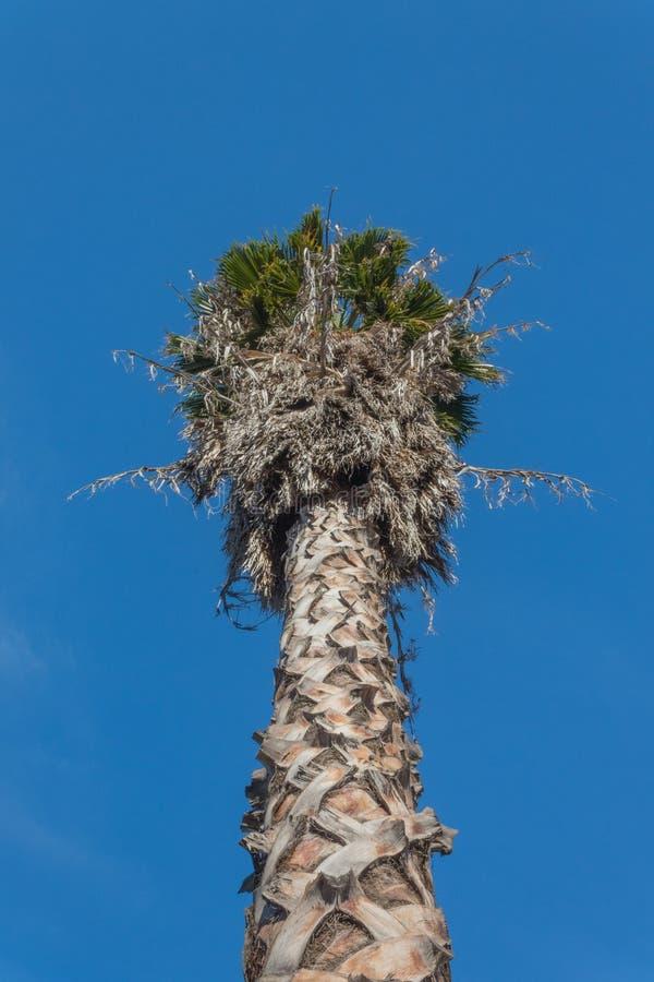 Mening die omhoog de boomstam en de bovenkant van een de ventilatorpalm van Californië Washingtonia tegen een levendige blauwe he royalty-vrije stock fotografie