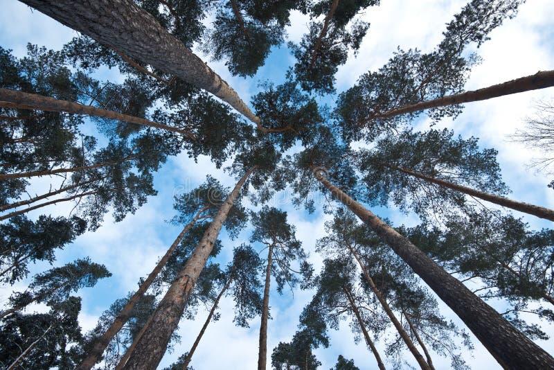 Mening die omhoog pijnboom en beukbomen in midden van bos bekijken stock foto's