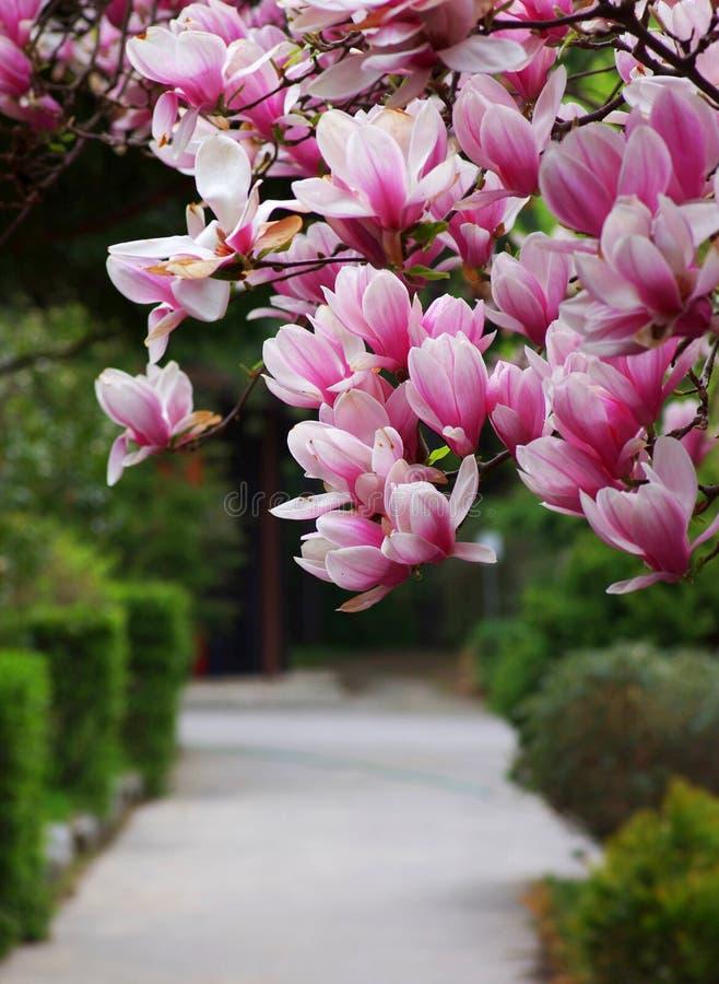 De Magnoliabloem Van De Mening Stock Afbeeldingen