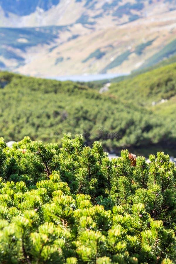 Mening van de Bergen van Tatra van de pijnboomboom van wandelingssleep polen europa stock fotografie