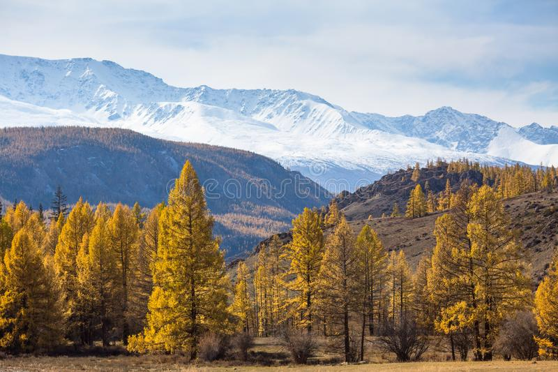 Mening van geel de herfstbos op een achtergrond van de rand van berg noorden-Chuya van Altai-Republiek, Rusland nave royalty-vrije stock afbeeldingen