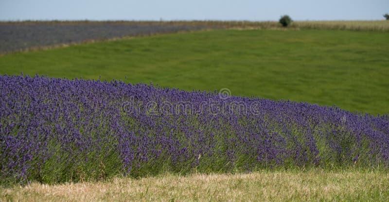 Mening van lavendelgebieden op een bloemlandbouwbedrijf in Cotswolds, Worcestershire het UK royalty-vrije stock foto's