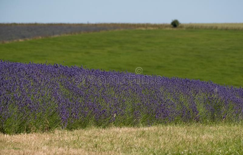 Mening van lavendelgebieden op een bloemlandbouwbedrijf in Cotswolds, Worcestershire het UK royalty-vrije stock fotografie