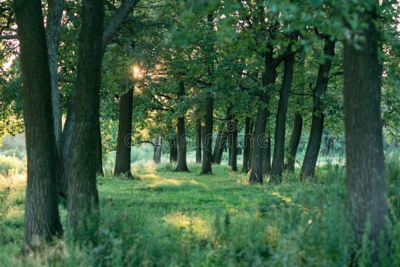 Mening van mooi eiken bos in de zomer De bomen in het bos, bij zonsondergang de zon, lage zon breekt door het gebladerte stock foto's