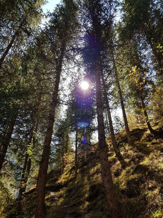 Mening van onderaan over de kronen van lange eeuwigdurende pijnbomen op achtergrond van de blauwe hemel en de zon royalty-vrije stock afbeelding