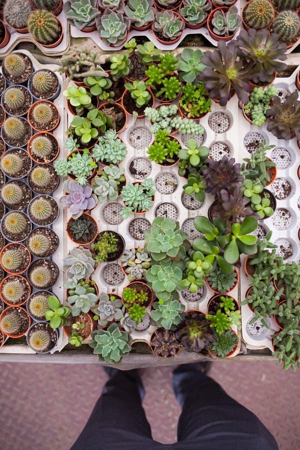 Mening van persoon naar kleine ingemaakte installaties en cactus royalty-vrije stock foto