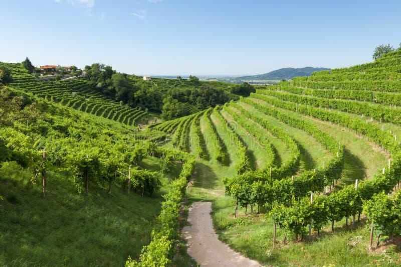 Mening van Prosecco-wijngaarden van Valdobbiadene, Italië tijdens samenvatting royalty-vrije stock foto's