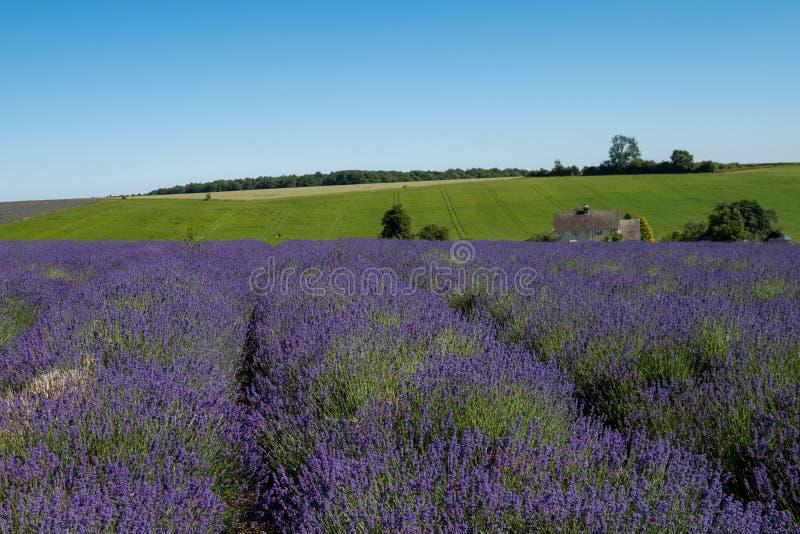 Mening van rijen van lavendel op een gebied op een bloemlandbouwbedrijf in Cotswolds, Worcestershire het UK royalty-vrije stock afbeelding