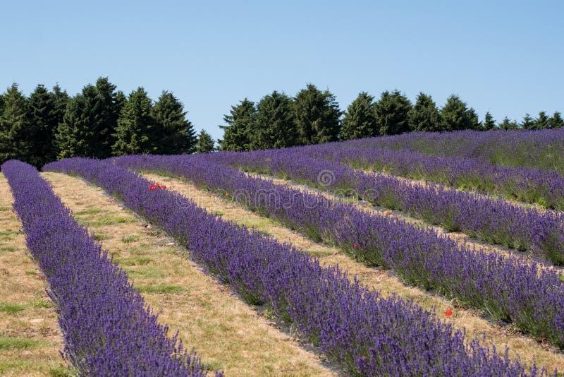 Mening van rijen van lavendelgebied op een bloemlandbouwbedrijf in Cotswolds, Worcestershire het UK stock afbeeldingen