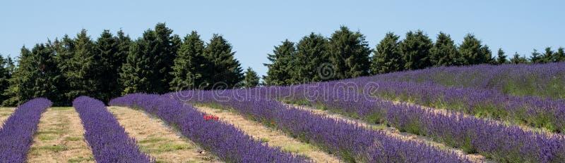Mening van rijen van lavendelgebied op een bloemlandbouwbedrijf in Cotswolds, Worcestershire het UK royalty-vrije stock foto's