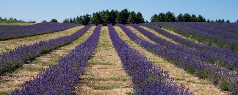 Mening van rijen van lavendelgebied op een bloemlandbouwbedrijf in Cotswolds, Worcestershire het UK stock fotografie