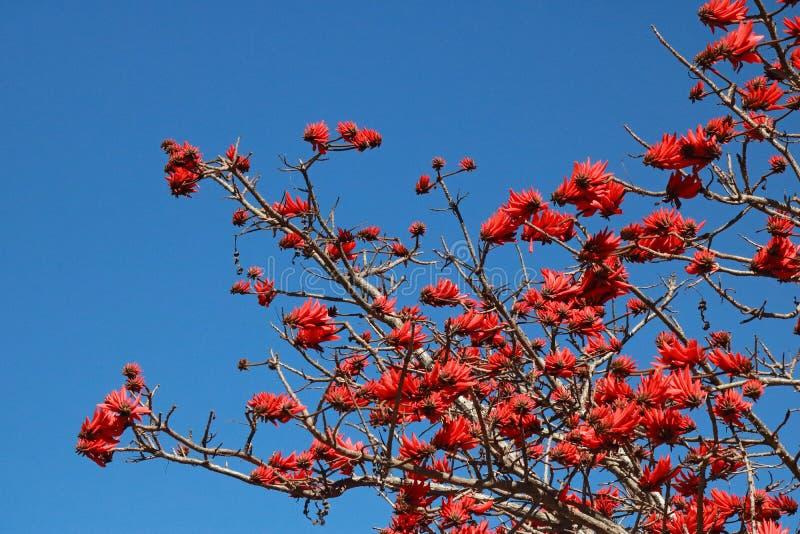 Mening van rode bloemen die op een Erythrina-boom tegen een blauwe hemel bloeien royalty-vrije stock fotografie