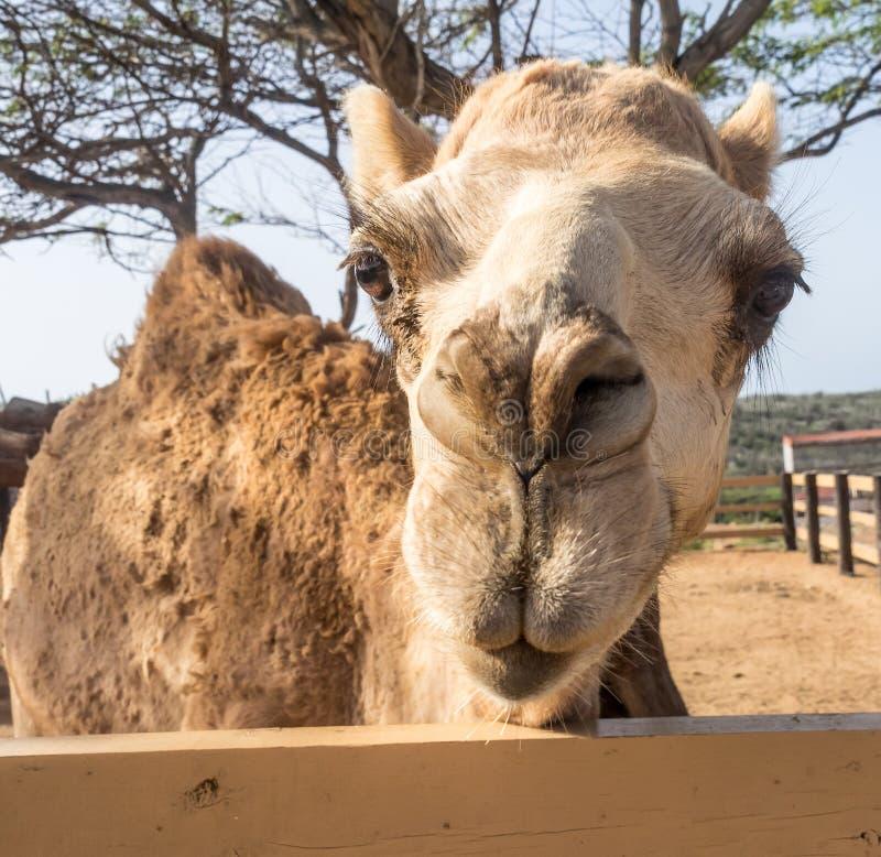 Meningen rond Phillips Animal Sanctuary - kameel royalty-vrije stock foto's