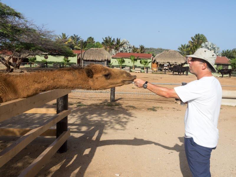Meningen rond Phillips Animal Sanctuary - kameel stock foto's