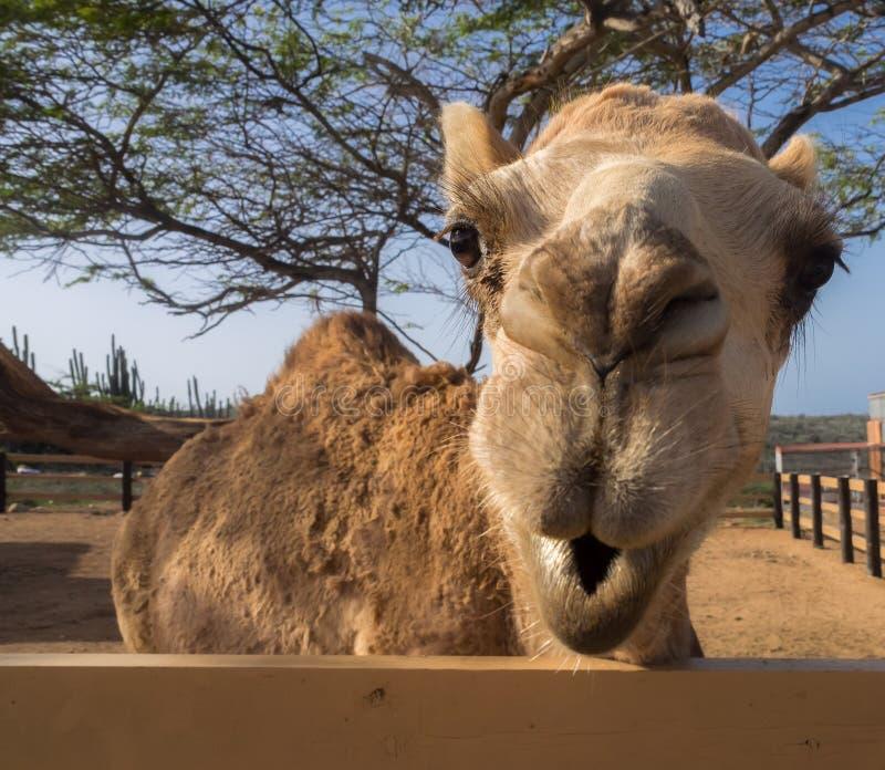Meningen rond Phillips Animal Sanctuary - kameel royalty-vrije stock afbeeldingen