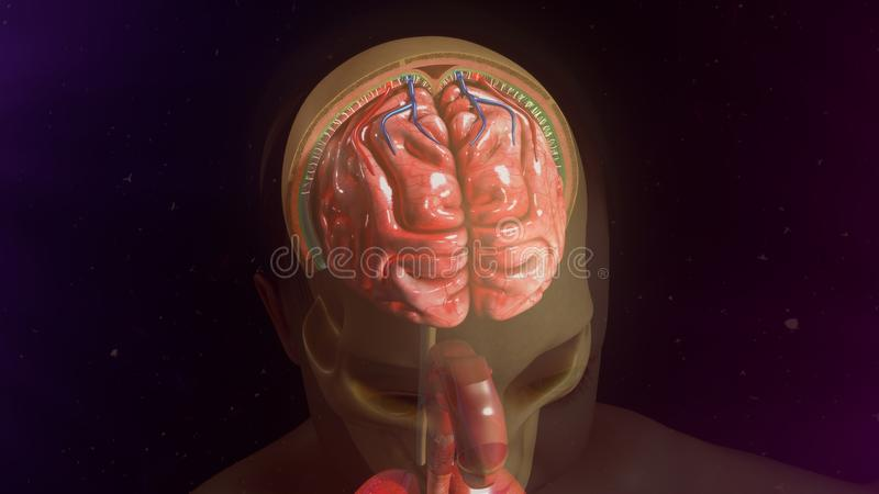meninges fotografia royalty free
