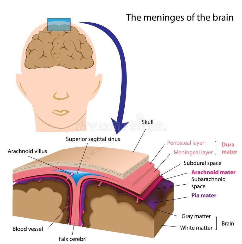 Meninges des Gehirns vektor abbildung. Illustration von menschlich ...