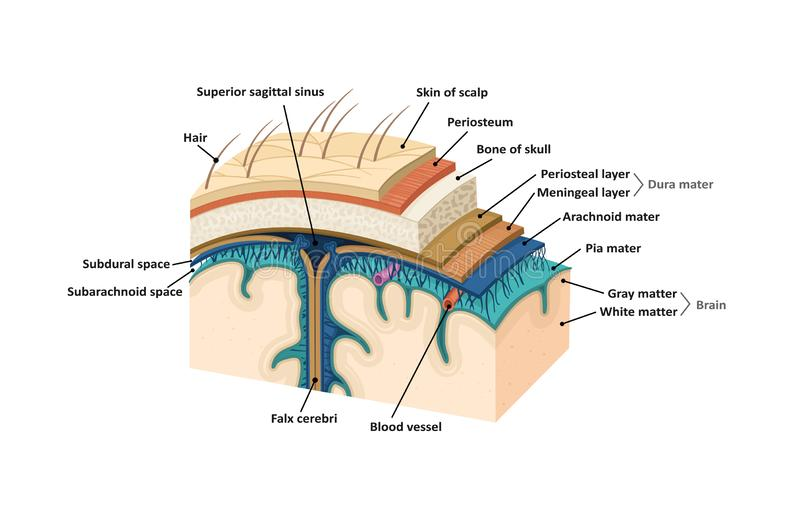 Meninges. Human brain royalty free illustration