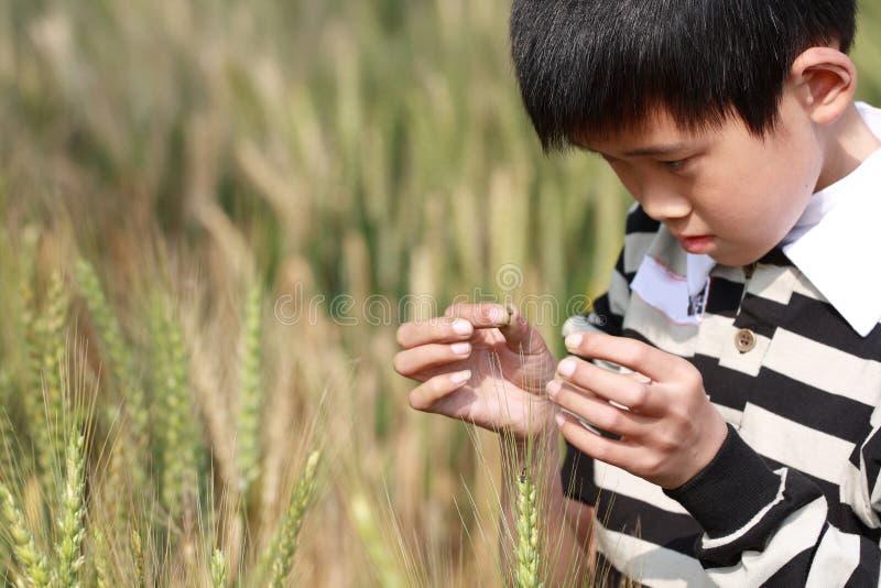 Menino de campo de trigo foto de stock
