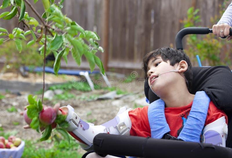 Menino deficiente em maçãs da colheita da cadeira de rodas fora da árvore de fruto foto de stock royalty free