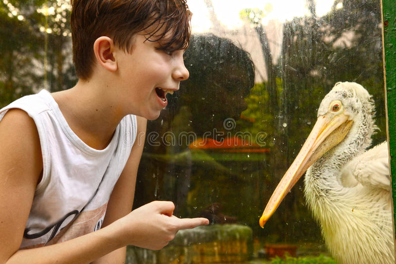 Menino do adolescente no jardim zoológico com fim pelikan branco acima da foto fotografia de stock royalty free