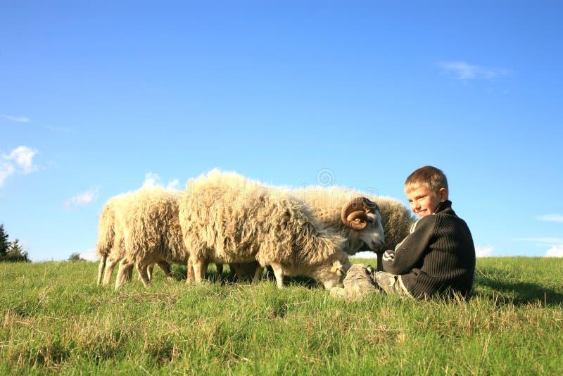 Menino e sheeps foto de stock royalty free