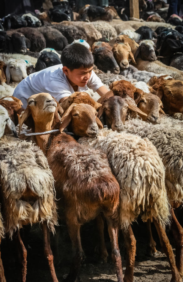 Menino e suas cabras fotografia de stock royalty free