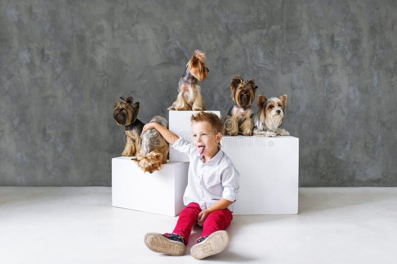 Menino louro encantador e cinco yorkshires terrier pequenos fotografia de stock royalty free