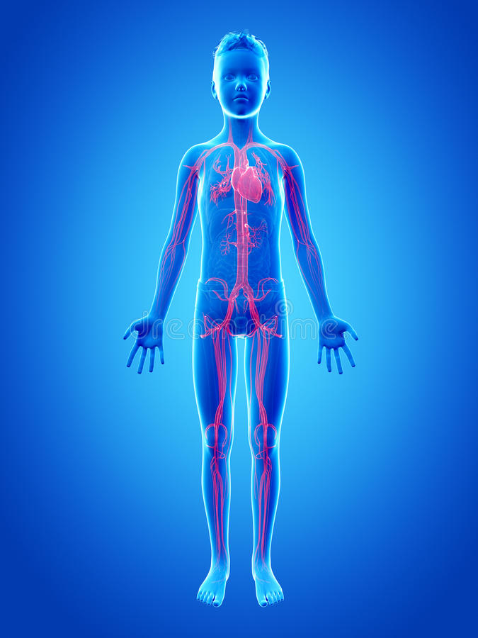 Menino novo - o sistema vascular ilustração royalty free