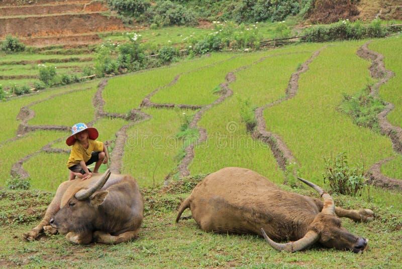 Menino pequeno com os dois búfalos enormes foto de stock