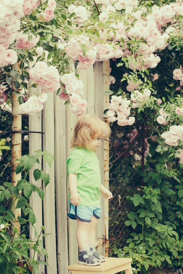 Menino pequeno na cadeira de madeira perto do arbusto cor-de-rosa foto de stock