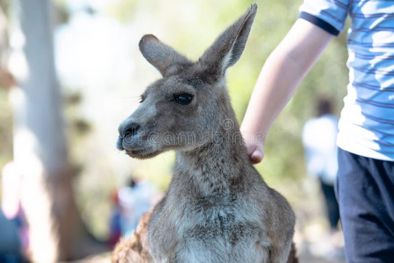 Menino que patting um grande canguru cinzento foto de stock royalty free