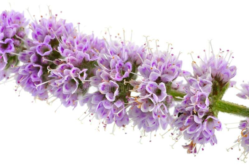 Mennica kwiaty odizolowywaj?cy na bielu zdjęcia royalty free