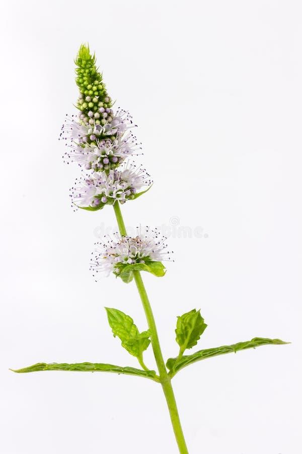 Mennica z kwiatami zdjęcie stock