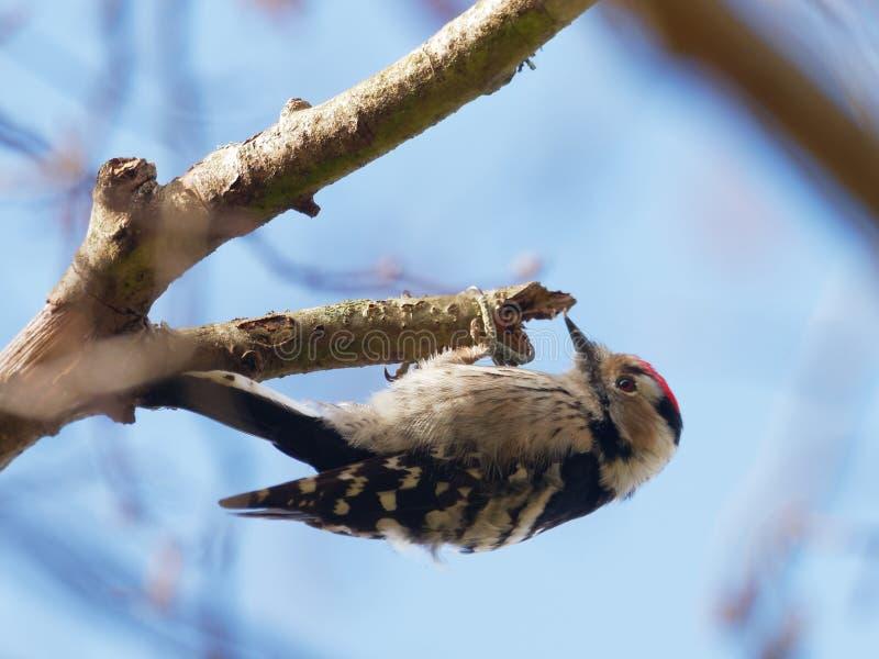 Menor de Lesser Spotted Woodpecker - de Dendrocopos imagen de archivo
