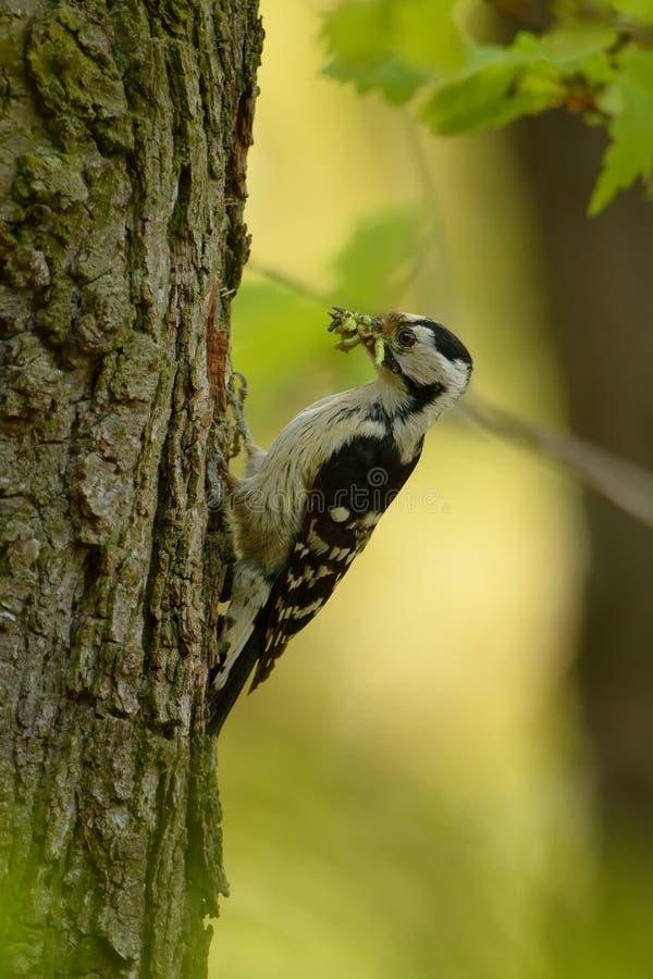 Menor de Lesser Spotted Woodpecker - de Dendrocopos imagenes de archivo