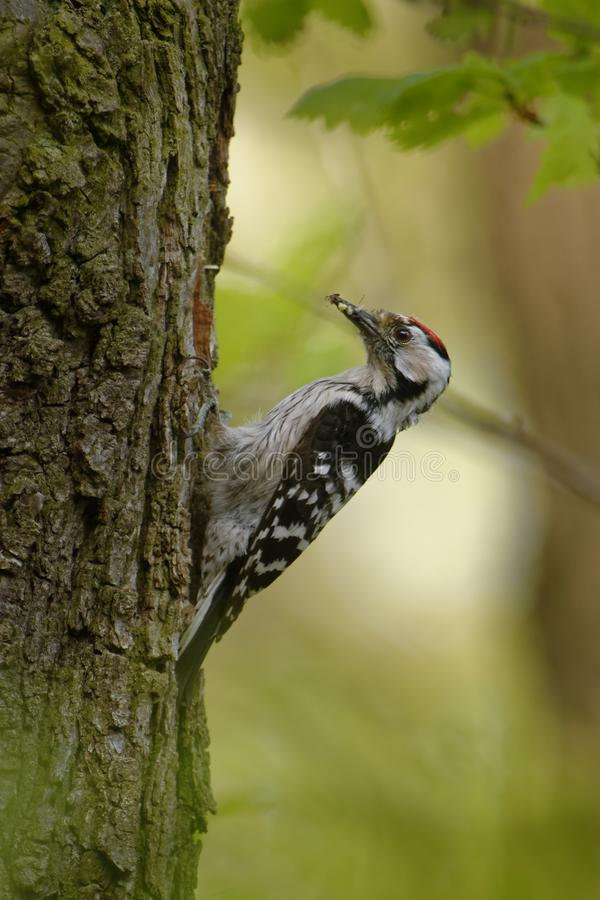Menor de Lesser Spotted Woodpecker - de Dendrocopos que alimenta sus polluelos en el nesthole en el árbol foto de archivo