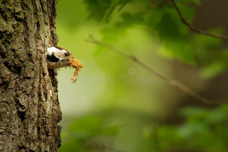 Menor de Lesser Spotted Woodpecker - de Dendrocopos que alimenta sus polluelos en el nesthole en el árbol imagenes de archivo