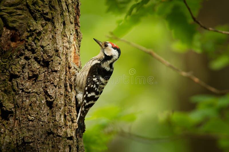 Menor de Lesser Spotted Woodpecker - de Dendrocopos que alimenta sus polluelos en el nesthole en el árbol fotografía de archivo libre de regalías