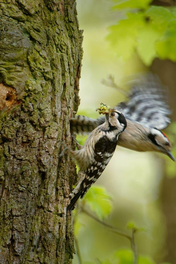 Menor de Lesser Spotted Woodpecker - de Dendrocopos que alimenta sus polluelos en el nesthole en el árbol imagen de archivo libre de regalías
