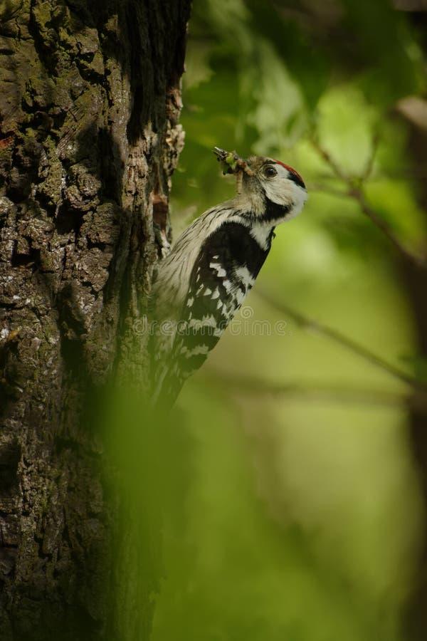 Menor de Lesser Spotted Woodpecker - de Dendrocopos que alimenta sus polluelos en el nesthole en el árbol fotografía de archivo