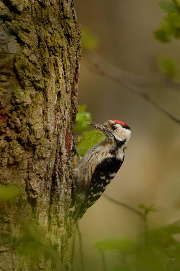 Menor de Lesser Spotted Woodpecker - de Dendrocopos que alimenta sus polluelos en el nesthole en el árbol fotos de archivo